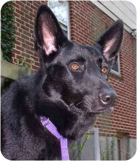 German Shepherd Dog Dog for adoption in Baltimore, Maryland - Onyx ADOPTED