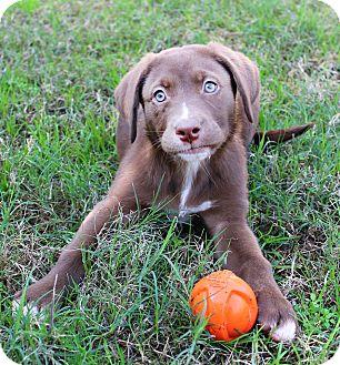 Labrador Retriever Mix Dog for adoption in Shreveport, Louisiana - Poppy
