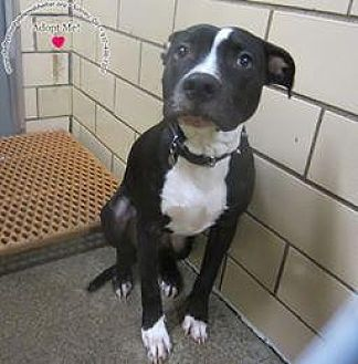 Labrador Retriever/Pit Bull Terrier Mix Dog for adoption in Sidney, Ohio - Leo