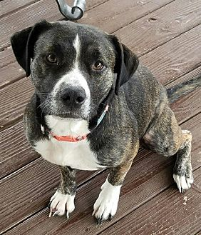 Catahoula Leopard Dog Mix Dog for adoption in Hopkinsville, Kentucky - CALLIE