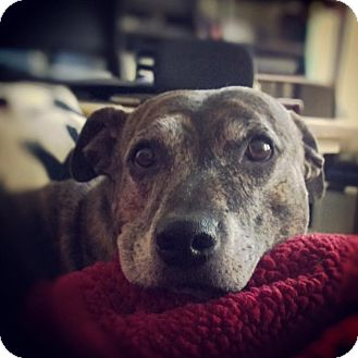 Pit Bull Terrier/Catahoula Leopard Dog Mix Dog for adoption in Las Vegas, Nevada - Gracie