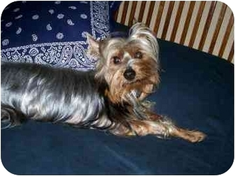 Silky Terrier Dog for adoption in League City, Texas - Teddy