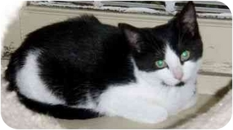 Domestic Shorthair Kitten for adoption in Randolph, New Jersey - Chirp