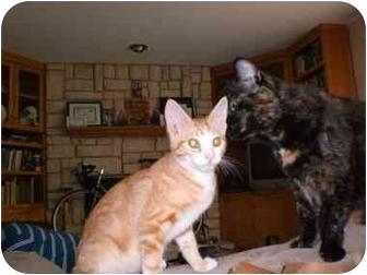 Cymric Kitten for adoption in Lombard, Illinois - Eggbert