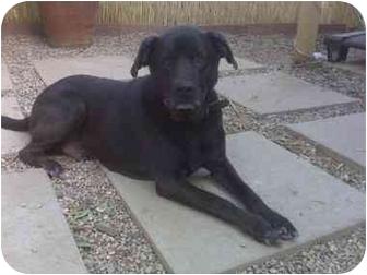 Labrador Retriever Mix Dog for adoption in Los Angeles, California - Chuey