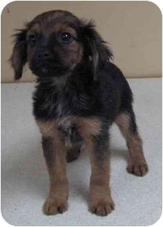 Pug/Dachshund Mix Puppy for adoption in Kansas City, Missouri - Willy
