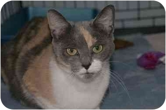 Domestic Shorthair Cat for adoption in Englewood, Florida - Crystal