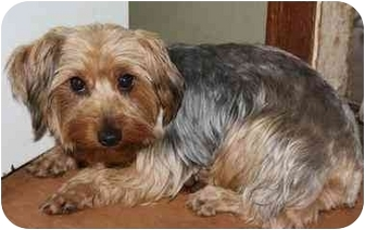 Yorkie, Yorkshire Terrier Mix Dog for adoption in Homer, New York - Aggie O'Shea