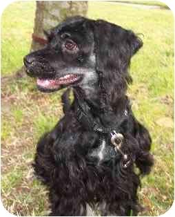 Cocker Spaniel/Dachshund Mix Puppy for adoption in Sugarland, Texas - Bonnie