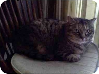 Domestic Shorthair Cat for adoption in Portland, Maine - Sadie