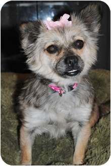 Pomeranian/Chihuahua Mix Dog for adoption in Plainfield, Illinois - Chyna