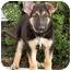 Photo 2 - German Shepherd Dog Puppy for adoption in Los Angeles, California - Mishka von Ryan's Puppies