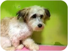 Lhasa Apso/Cairn Terrier Mix Dog for adoption in pasadena, California - Winnie