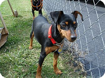 Miniature Pinscher Puppy for adoption in Nashville, Tennessee - Asia
