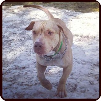 Pit Bull Terrier/Basset Hound Mix Dog for adoption in plano, Texas - Percy