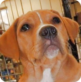 Labrador Retriever Mix Puppy for adoption in Olive Branch, Mississippi - Luke