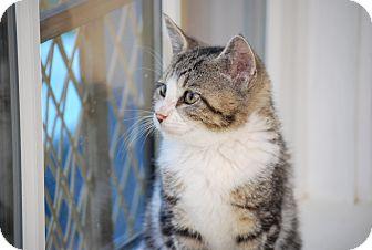 Domestic Shorthair Kitten for adoption in Trevose, Pennsylvania - Fizz