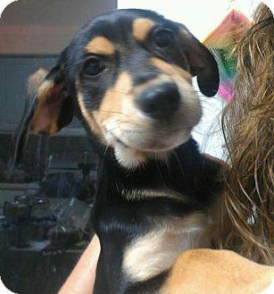 Rottweiler Mix Puppy for adoption in Phoenix, Arizona - Saint - One big beautiful girl