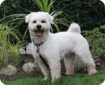Wheaten Terrier/Bichon Frise Mix Dog for adoption in Newport Beach, California - AUGUSTUS