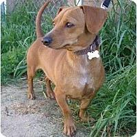 Adopt A Pet :: Suri - San Jose, CA
