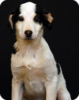 Feist/Shepherd (Unknown Type) Mix Dog for adoption in Newland, North Carolina - Geselle