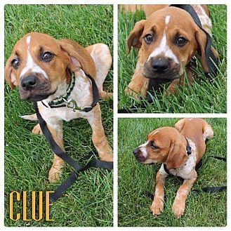 German Shepherd Dog/Boxer Mix Puppy for adoption in Garden City, Michigan - Clue