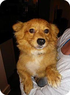Pomeranian Mix Dog for adoption in Hainesville, Illinois - Reo