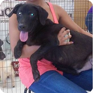 Labrador Retriever Mix Puppy for adoption in Miami, Florida - Charlie