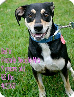 Basset Hound Mix Dog for adoption in Beaumont, Texas - Bella