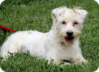 Maltese/Yorkie, Yorkshire Terrier Mix Dog for adoption in Windham, New Hampshire - Khloe