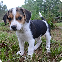 Adopt A Pet :: Piggy - Glastonbury, CT