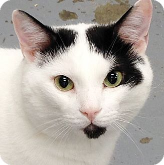 Domestic Shorthair Cat for adoption in Clayville, Rhode Island - Archie