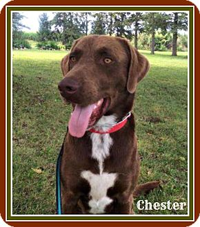 Pointer/Chesapeake Bay Retriever Mix Dog for adoption in New Richmond,, Wisconsin - Chester