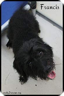 Terrier (Unknown Type, Small) Mix Dog for adoption in Rockwall, Texas - Francis
