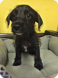 Terrier (Unknown Type, Small) Mix Puppy for adoption in Boca Raton, Florida - Stewie