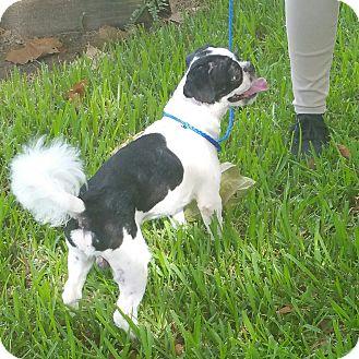 Shih Tzu Dog for adoption in Houston, Texas - BANDIT