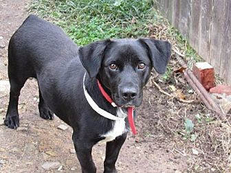 Corgi/Labrador Retriever Mix Dog for adoption in Gilbertsville, Pennsylvania - Chico - On Hold