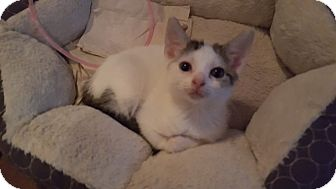 Domestic Shorthair Kitten for adoption in Delmont, Pennsylvania - 1Brandy