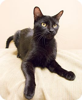 Bombay Cat for adoption in Chicago, Illinois - Poe
