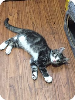 Domestic Mediumhair Kitten for adoption in Ashland, Ohio - Elrond and Gimley