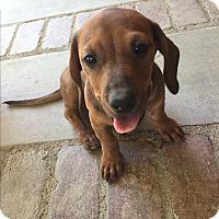 Adopt A Pet :: Merlot - Studio City, CA
