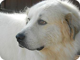 Great Pyrenees Dog for adoption in Granite Bay, California - SKYE