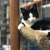 Domestic Shorthair/Domestic Shorthair Mix Cat for adoption in Toronto, Ontario - Molly