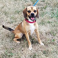 Adopt A Pet :: Blossom - Cameron, MO