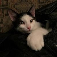 Adopt A Pet :: Valentino - Warren, MI
