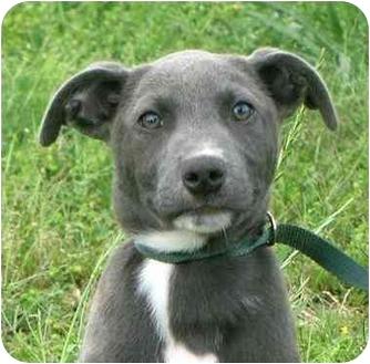 Border Collie/Weimaraner Mix Puppy for adoption in Portsmouth, Rhode Island - Cypress