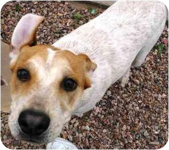 Australian Cattle Dog/Hound (Unknown Type) Mix Dog for adoption in Phoenix, Arizona - Sid **ADOPTION PENDING**