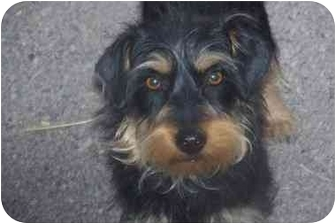 Terrier (Unknown Type, Small)/Yorkie, Yorkshire Terrier Mix Dog for adoption in Arenas Valley, New Mexico - Abbie Rose