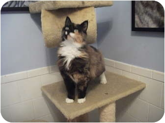 Domestic Mediumhair Cat for adoption in Edwardsville, Illinois - Daphne