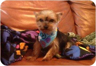 Yorkie, Yorkshire Terrier Mix Puppy for adoption in Tallahassee, Florida - Charlie